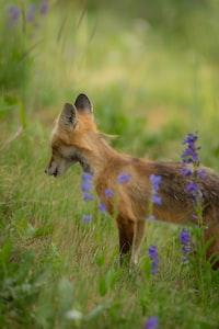 fox standing on green grass field near purple flower