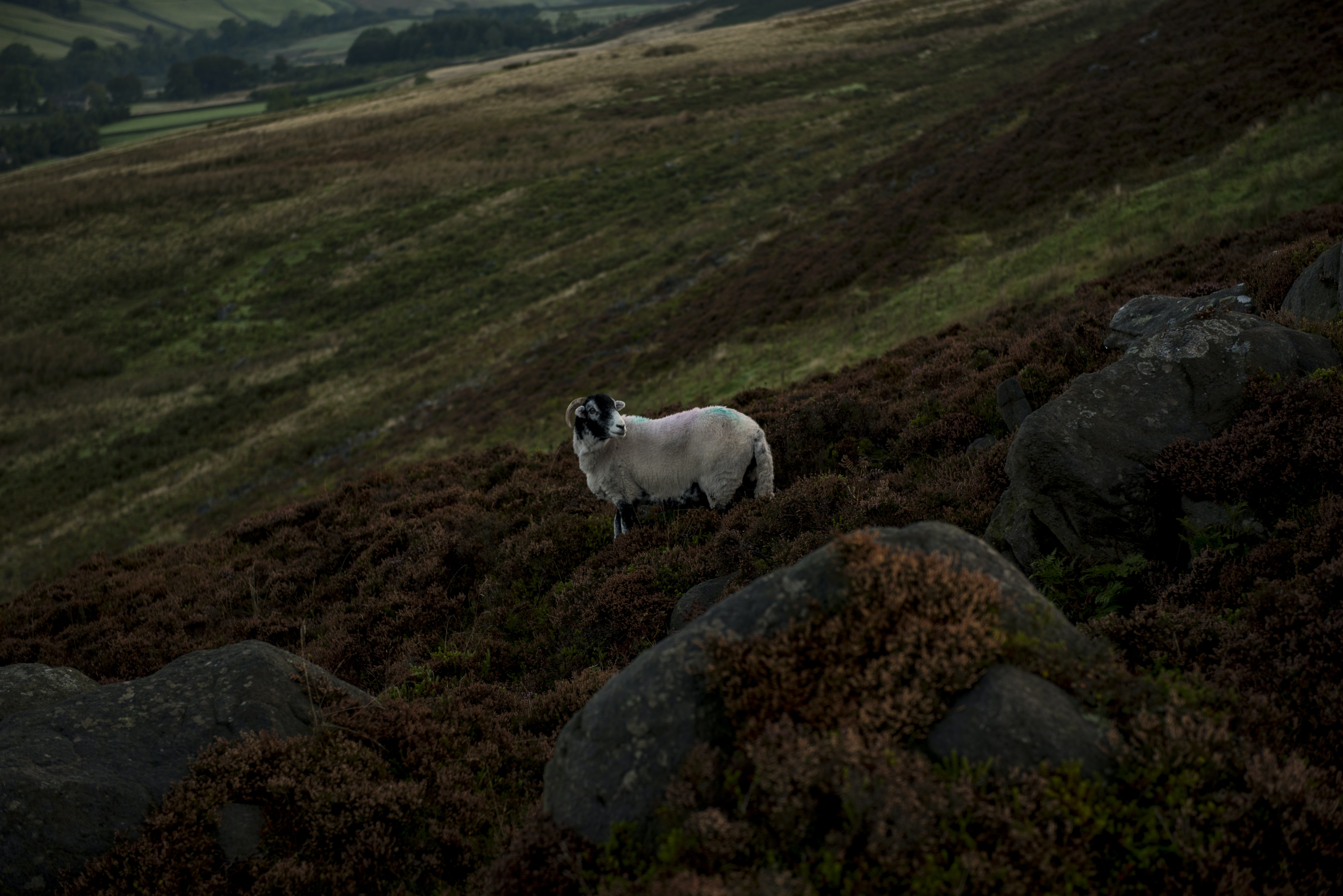 photo of white sheep on field