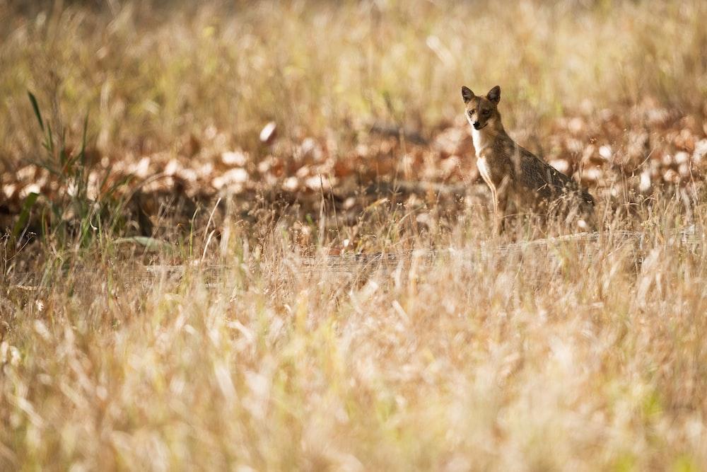 brown fox looking elsewhere in the meadows