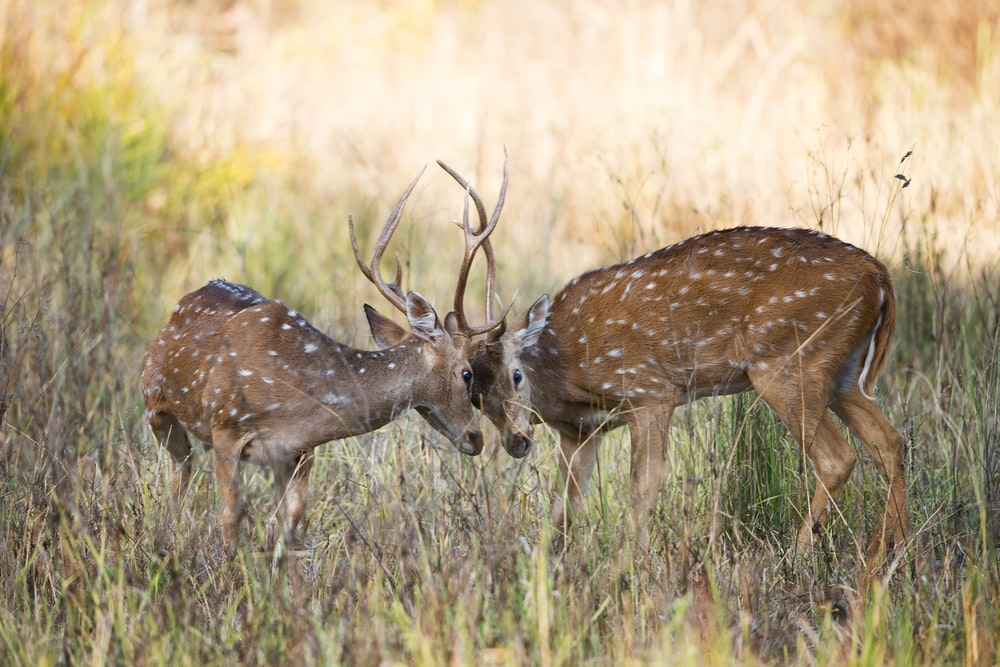 two fighting brown deer on green grass