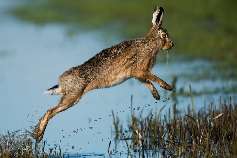 brown rabbit hopping above body of water