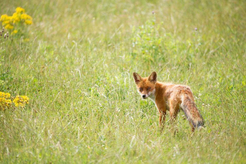 wildlife photography of orange fox