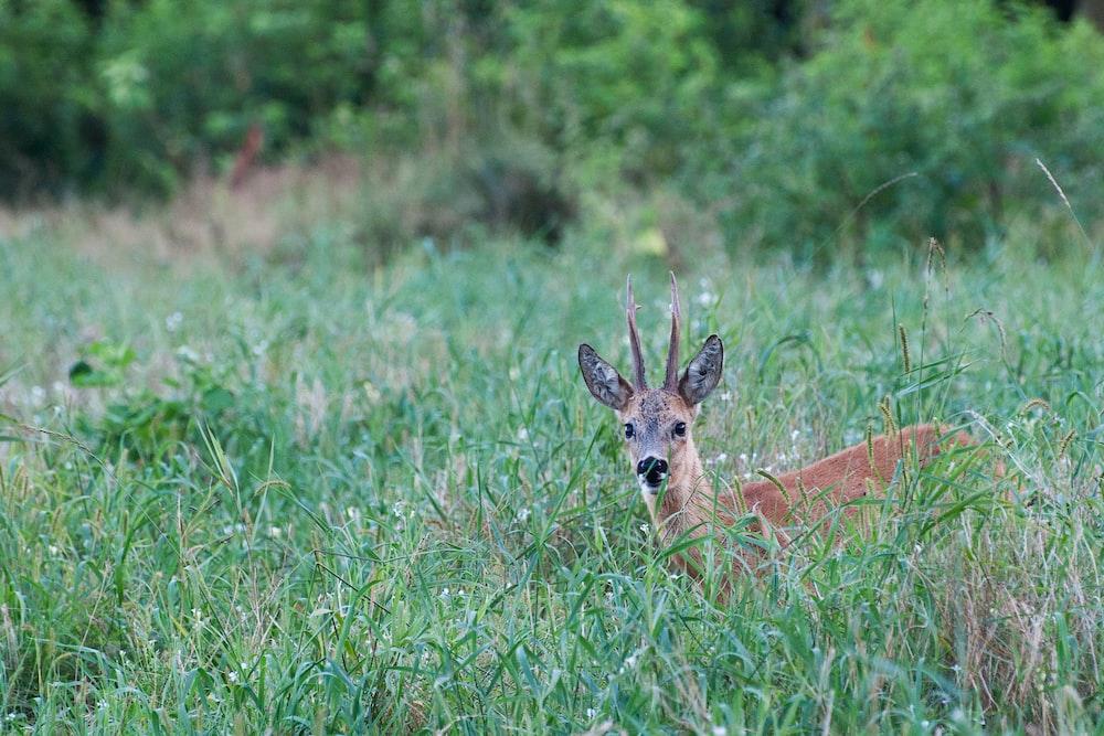 brown antelope on green grass