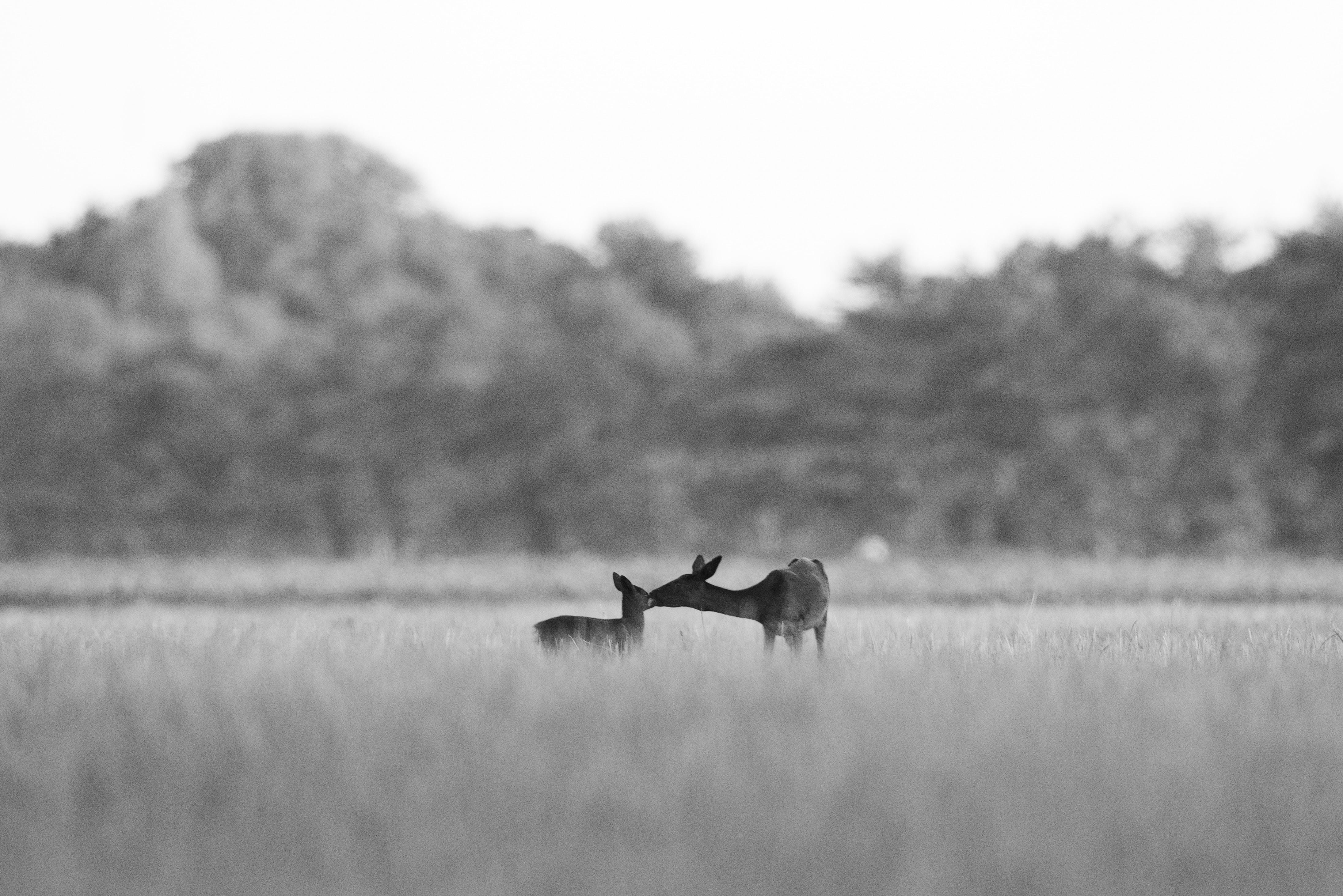 grayscale photo of deers on field