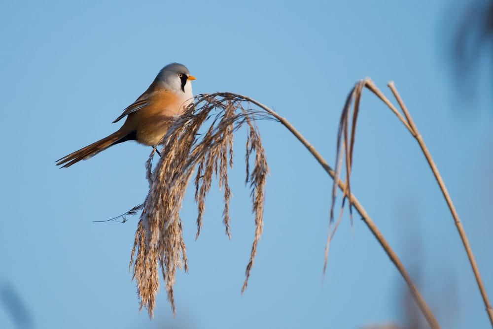 white and beige bird perched on wheat plant