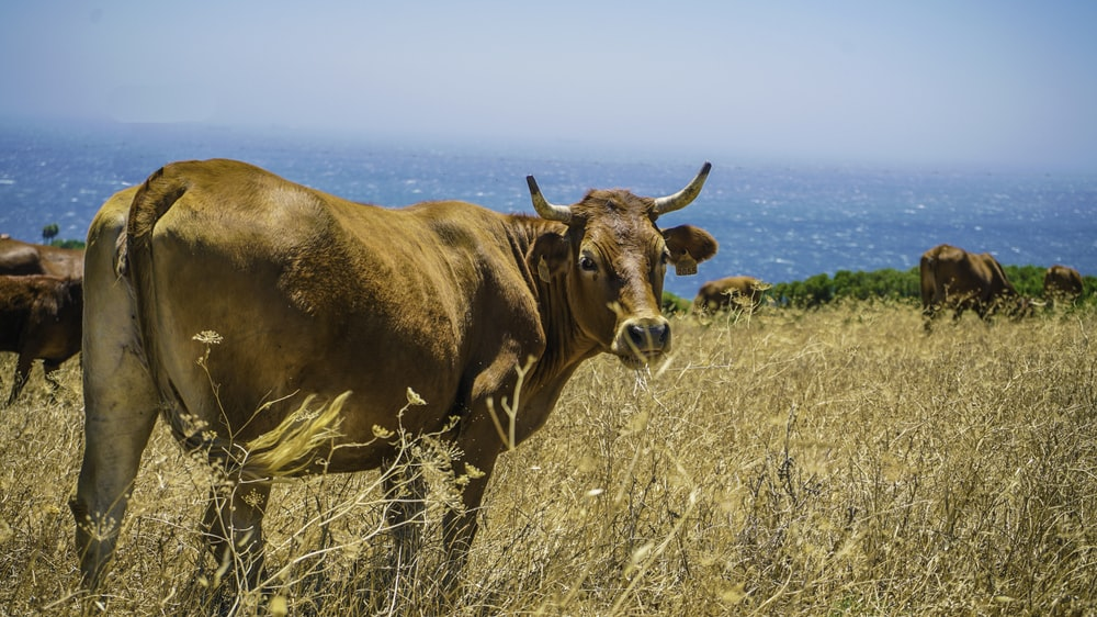 herd of cattle on brown grass field at daytime