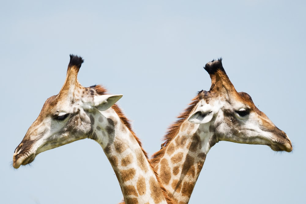 two giraffe illustration