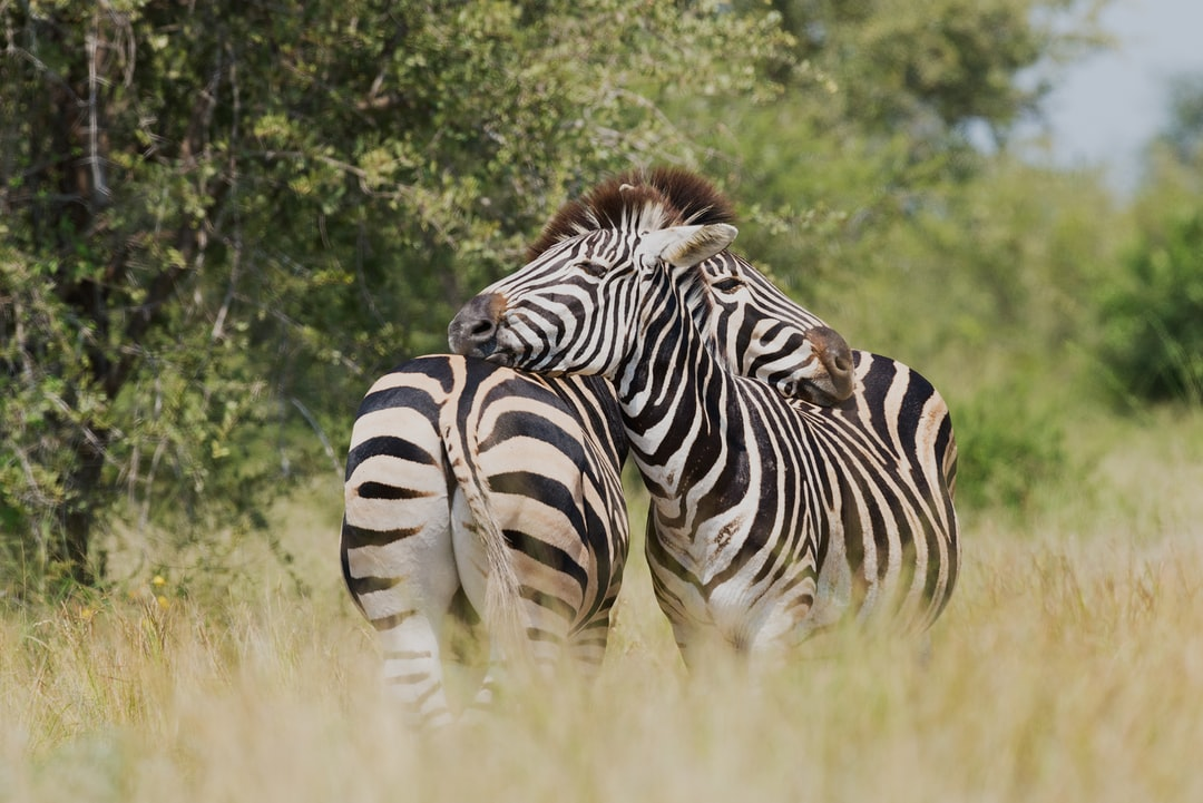 True Zebra Love