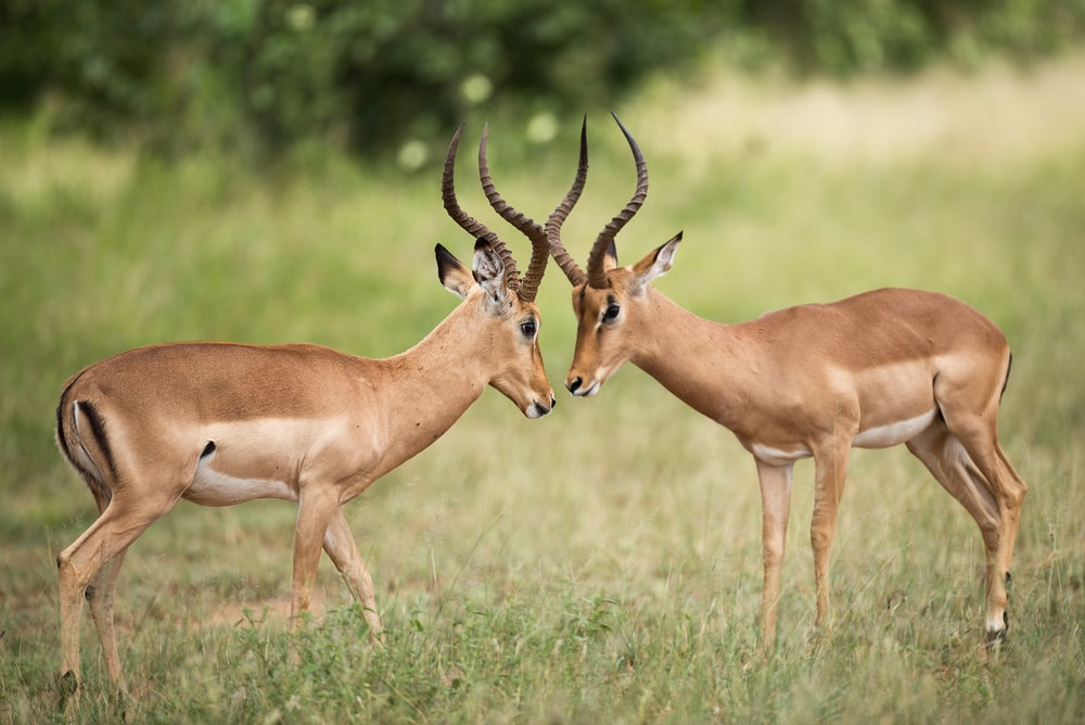 two brown deer on green grass field during daytime