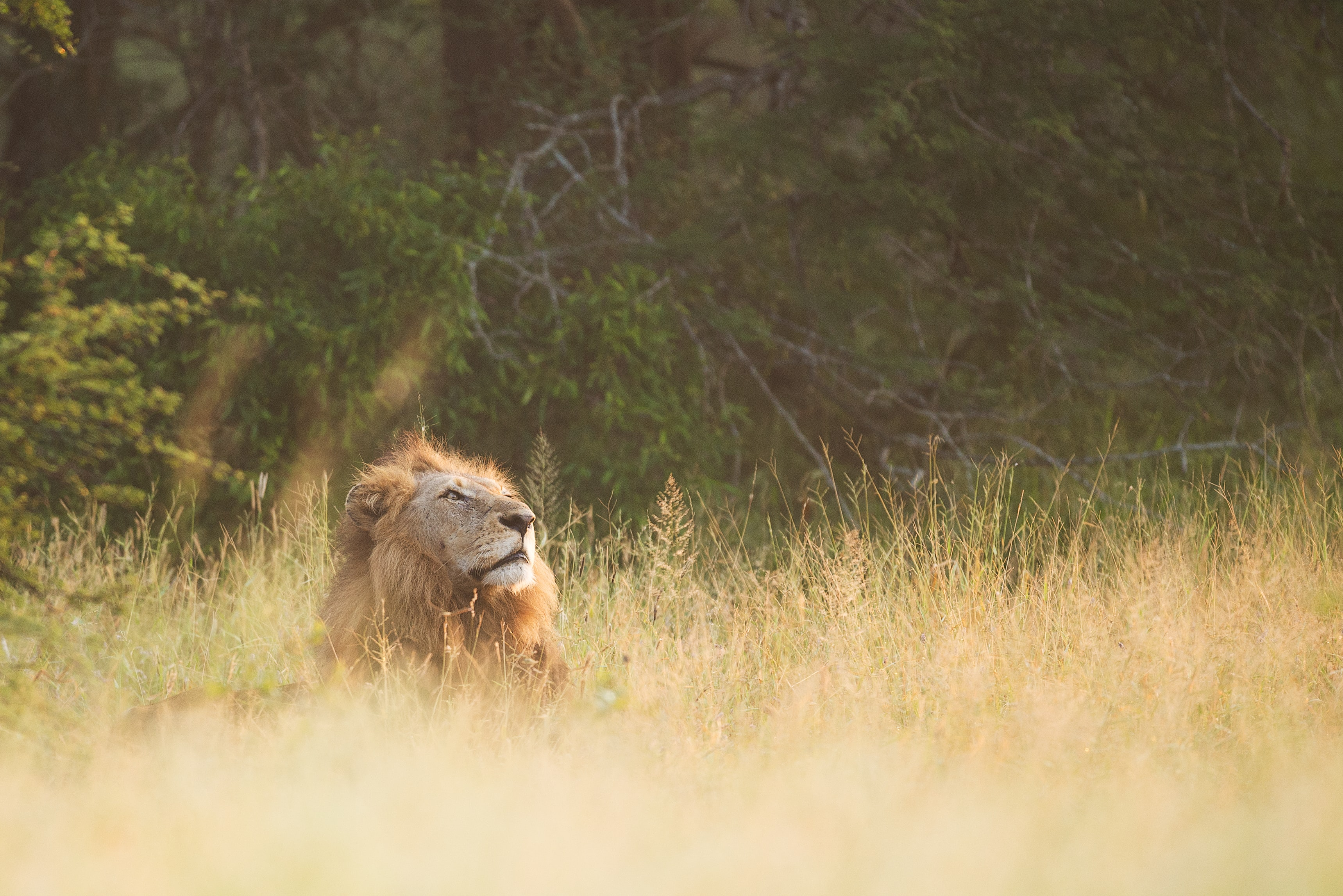 brown lion lying on grasses during daytime