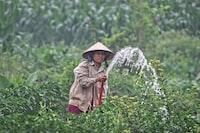 Woman watering fields in Vietnam