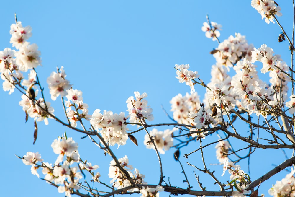 worm's eye view photography of cherry blossom tree
