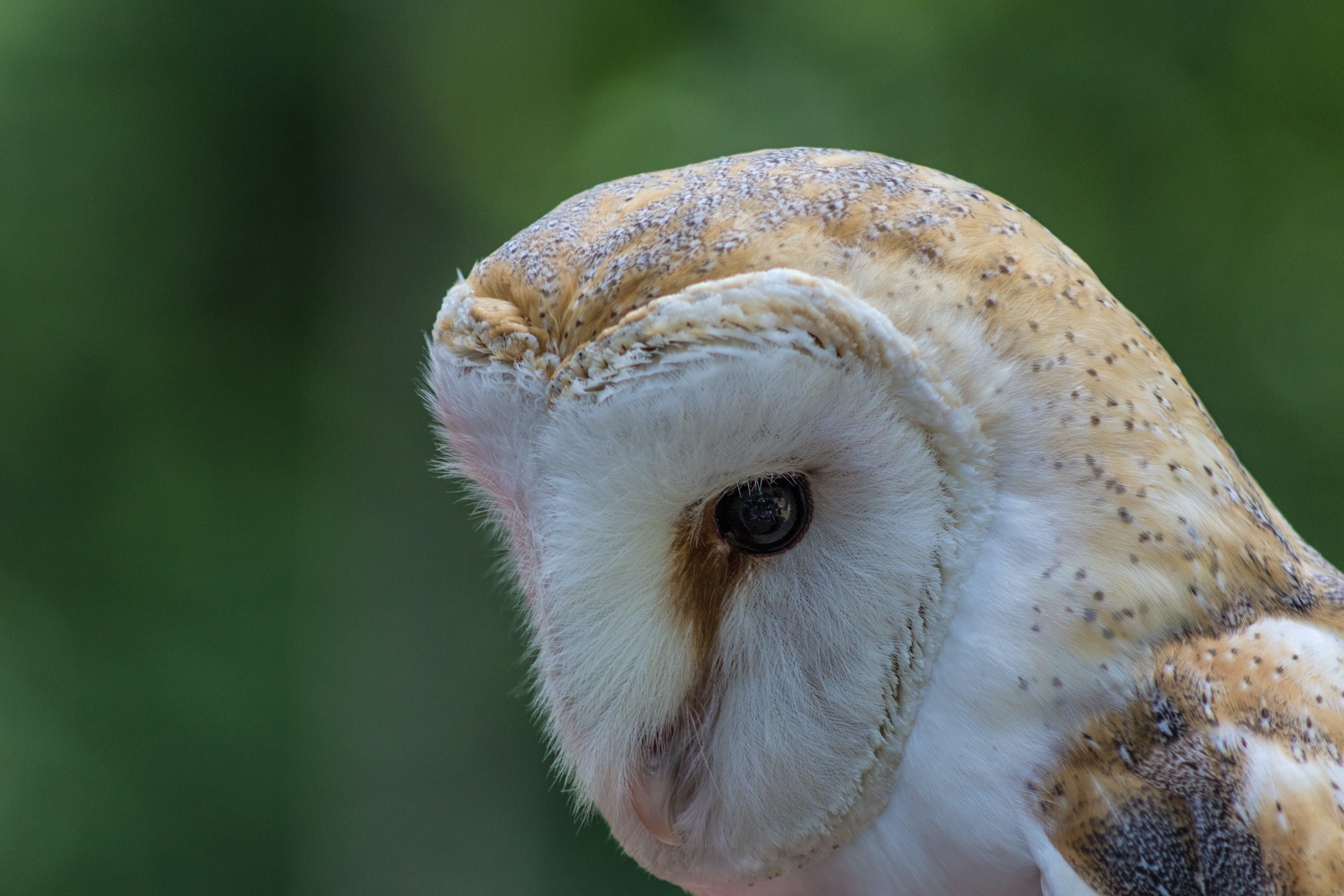 closeup photo of white barn owl