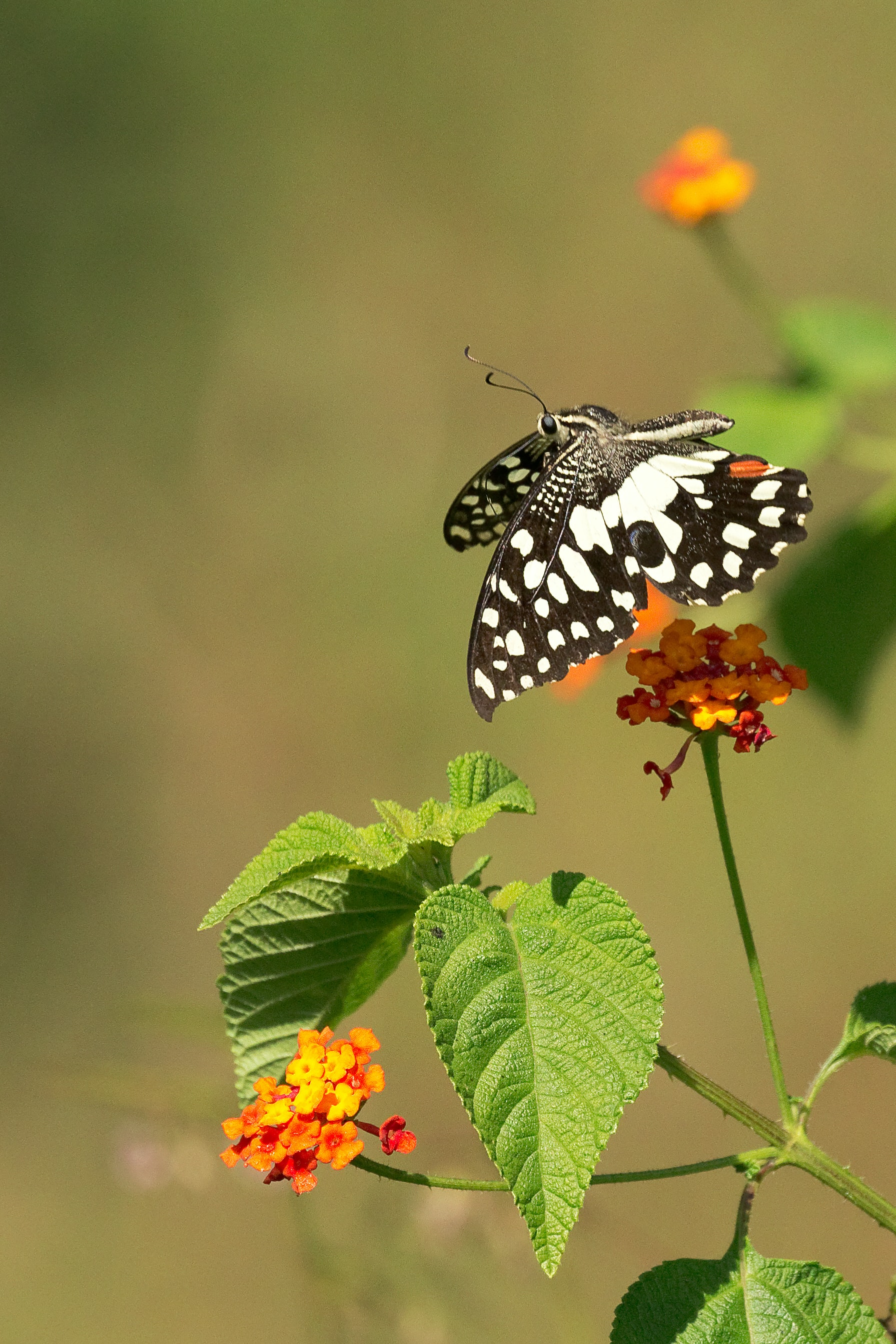 shallow focus photography of black and white butterfly on yellow flower