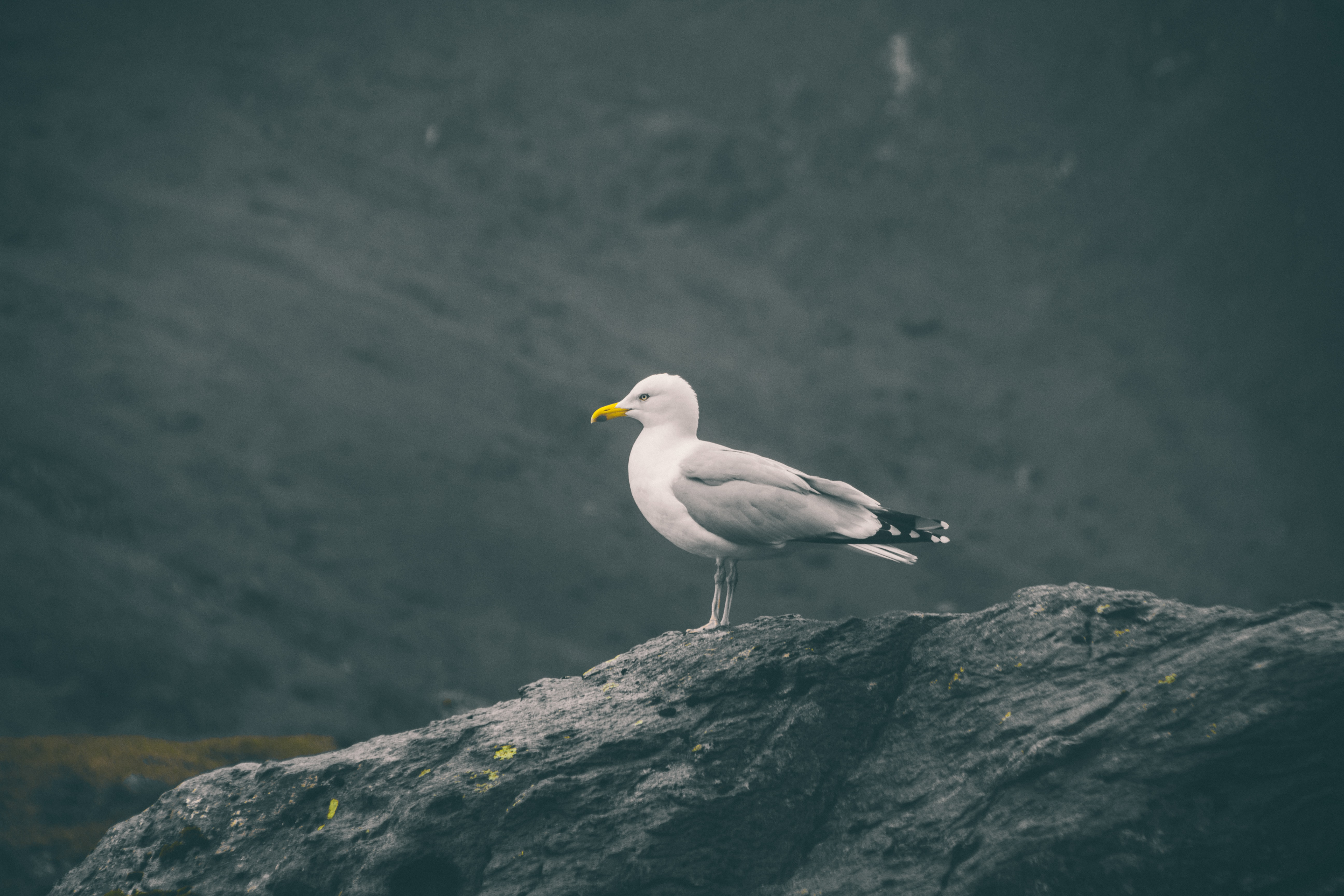 seagull resting on rock