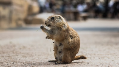 wildlife photography of brown mormont groundhog teams background