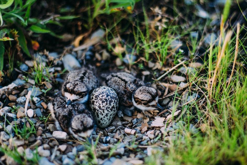 closeup photo of three quail chicks on ground