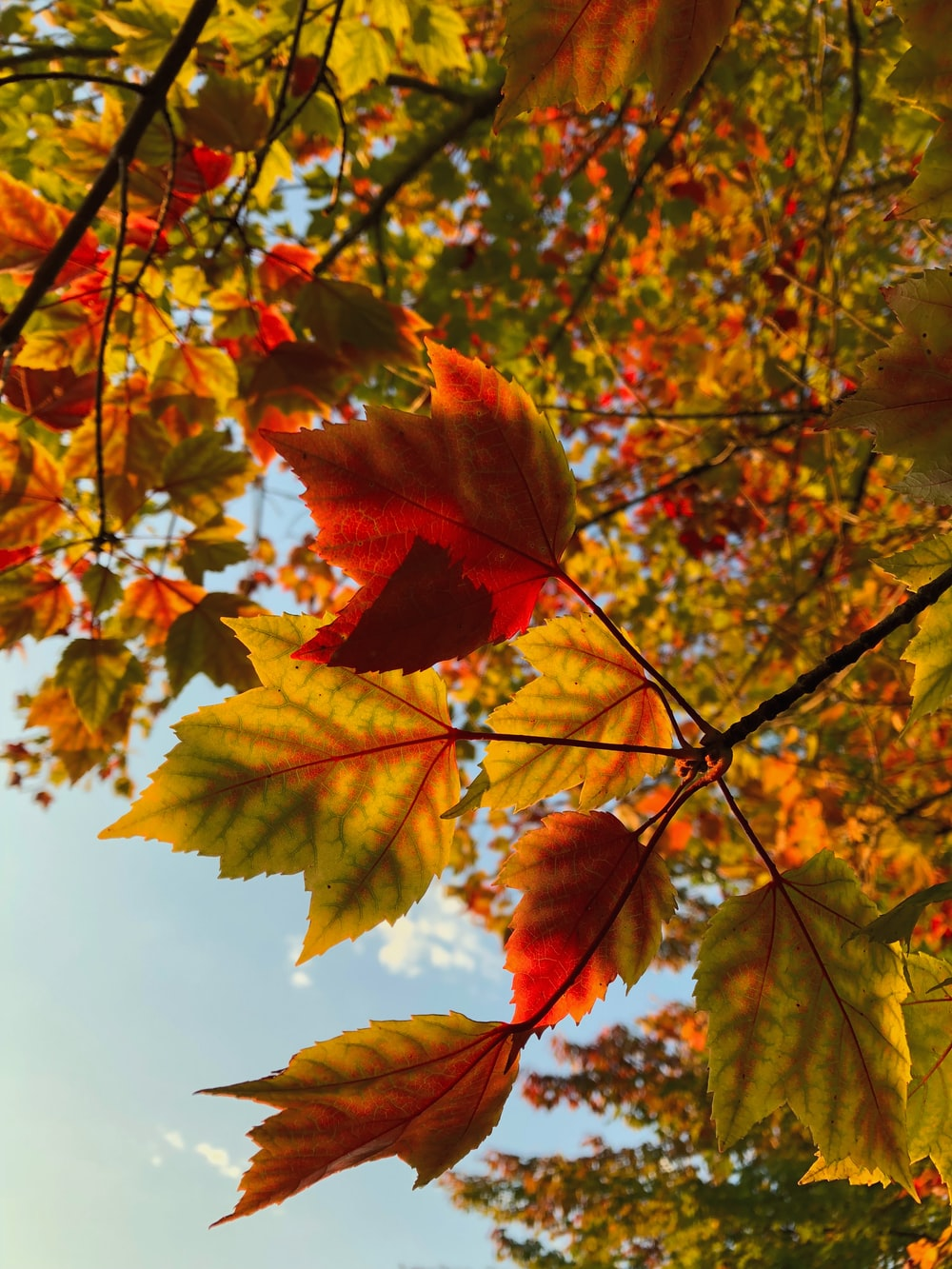 high-angle photography of red and yellow maple leaves