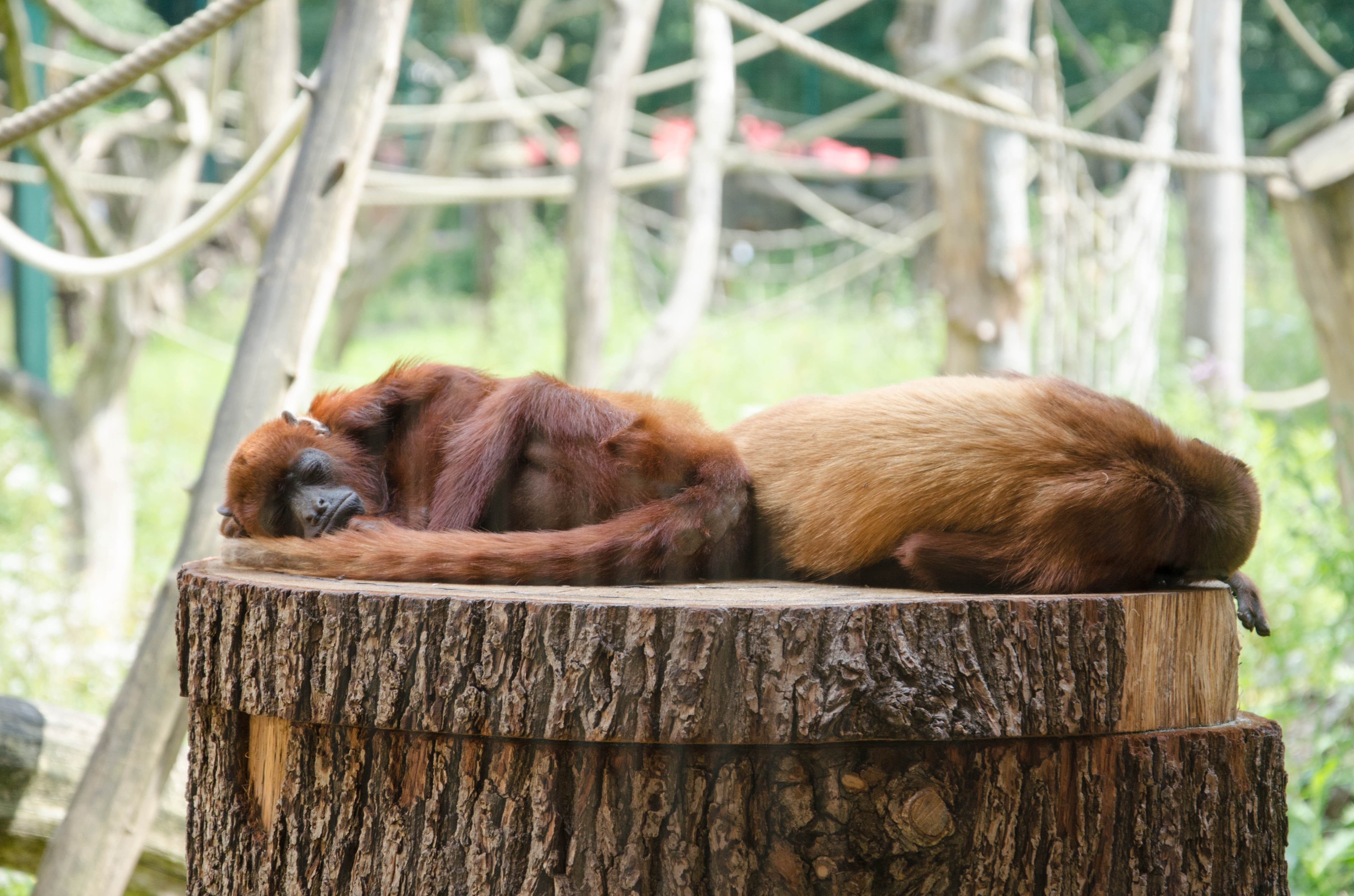 two primate laying on wood slab