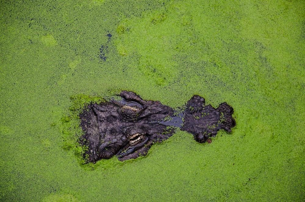 aerial view of crocodile