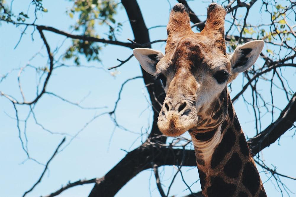 shallow focus photography of giraffe under tree