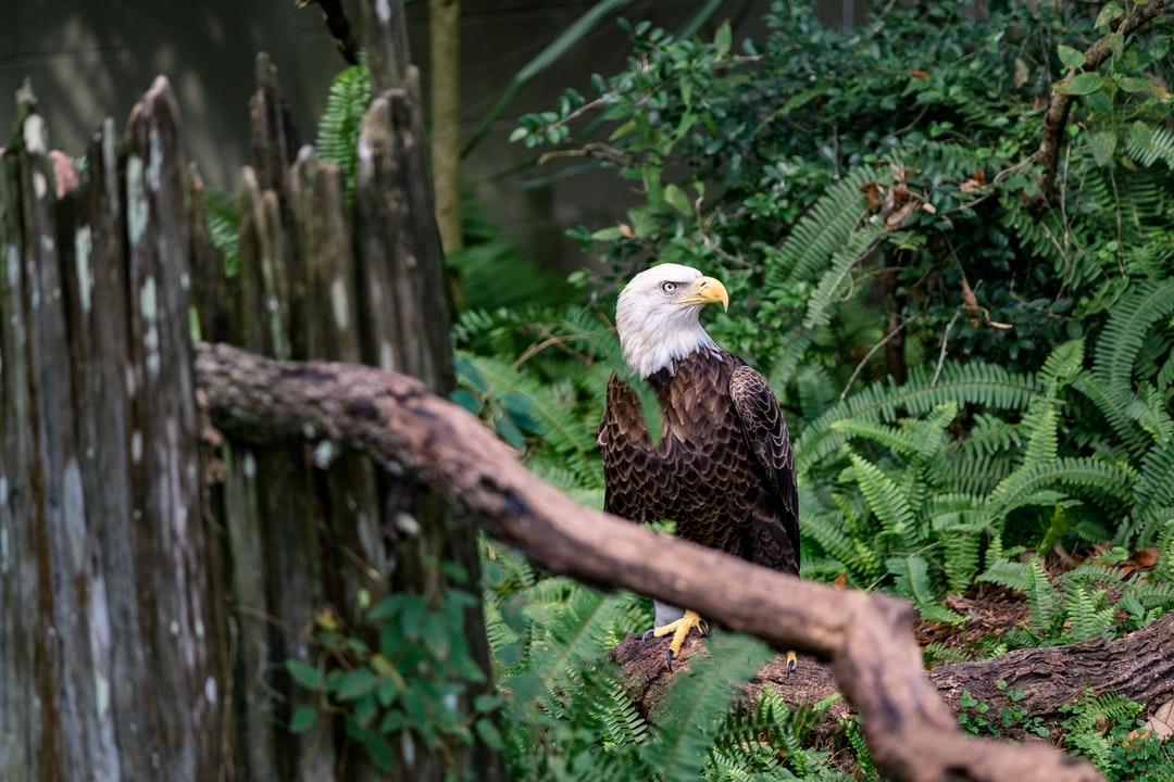 Still majestic, even when grounded. This eagle was injured by a hunter and resides in the Lowry Zoo because he can't survive easily in the wild. His habitat has trees and branches angled to allow him to hop up to higher levels or stick closer to the ground because he can't use his right wing.