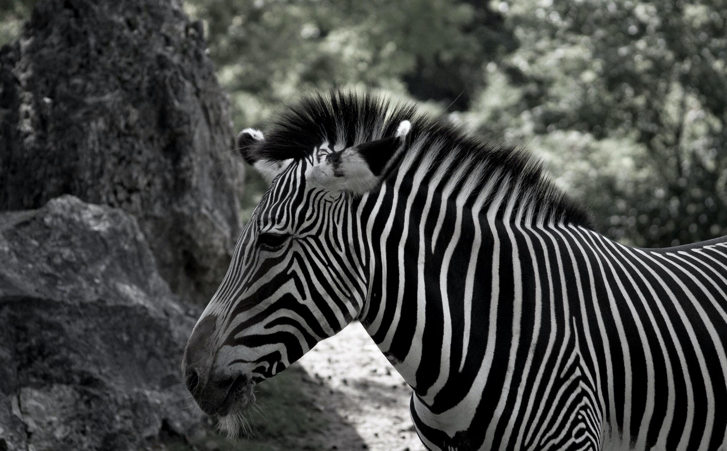white and black zebra near green leaf trees