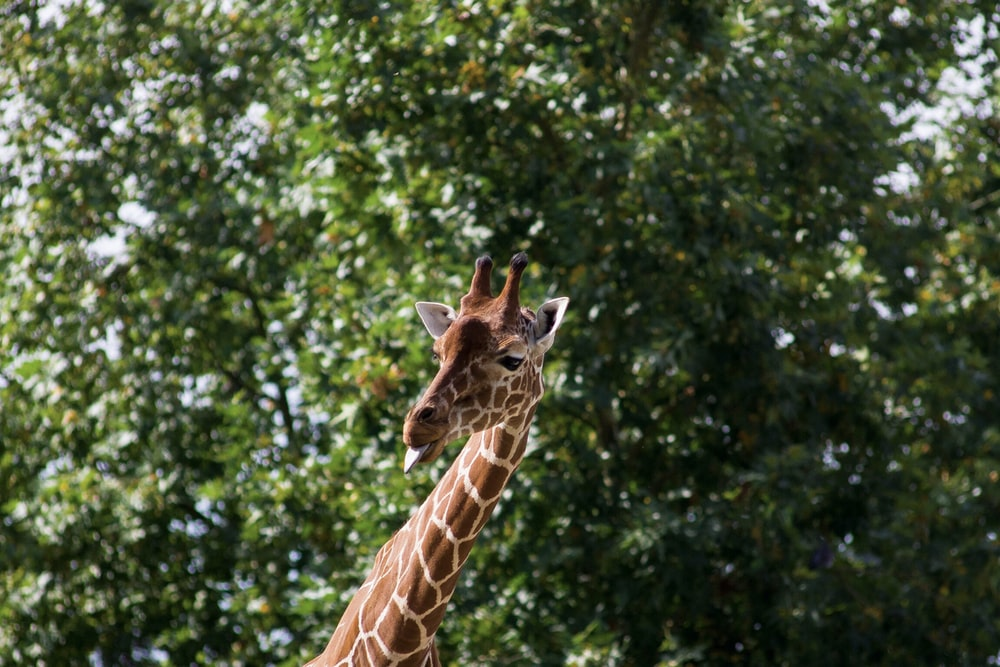 brown and white giraffe behind green leafed tree