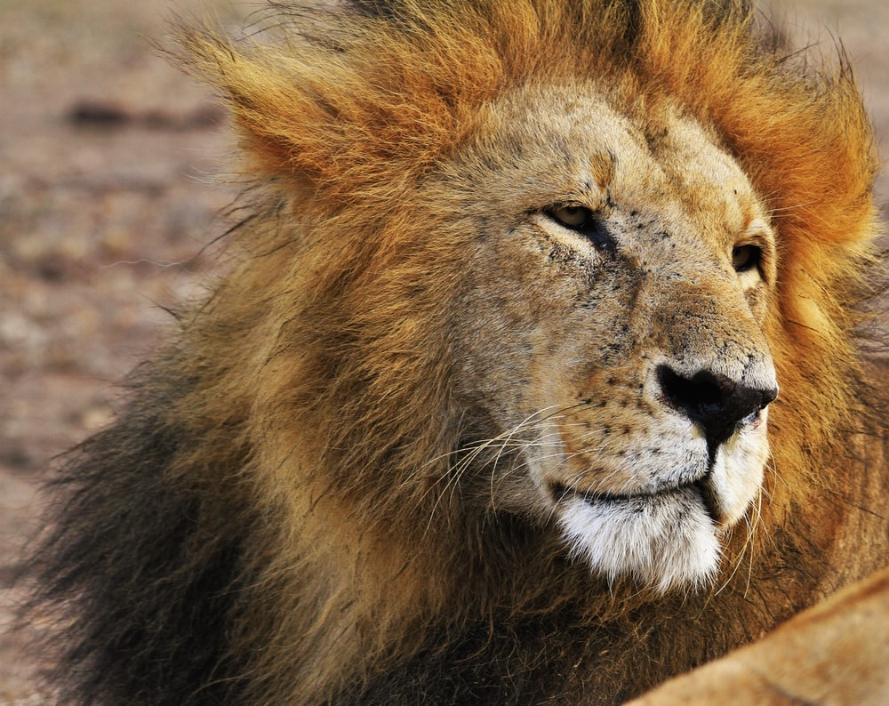 shallow focus photograph of Lion at the wildlife