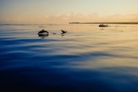 silhouette of two dolphins on water under white clouds