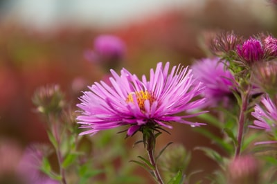 selective photo of pink aster flower