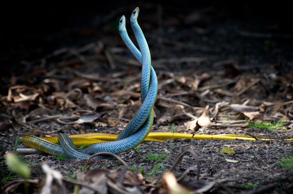 two blue-and-yellow snakes mating near dried leaves