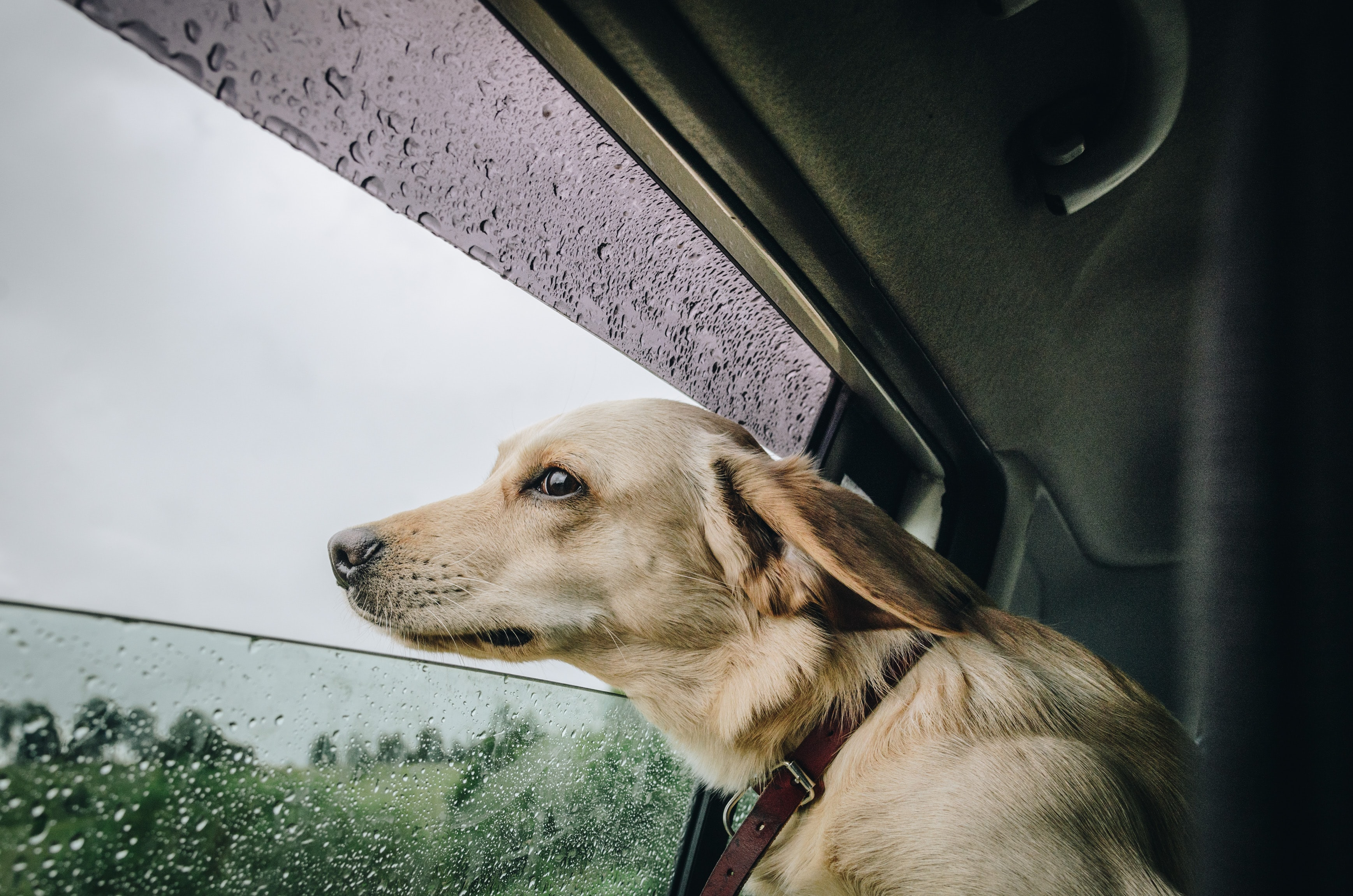 yellow Labrador retriever sneaking on vehicle window