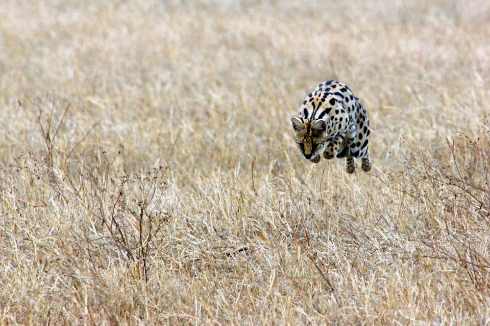 Bengal running on brown meadows