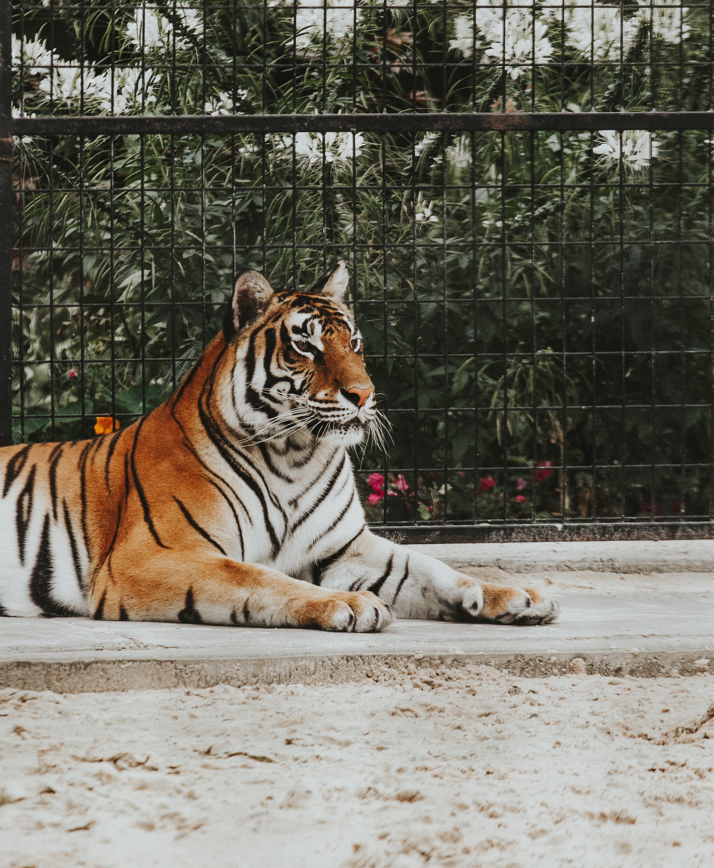 Bengal tiger laying on ground