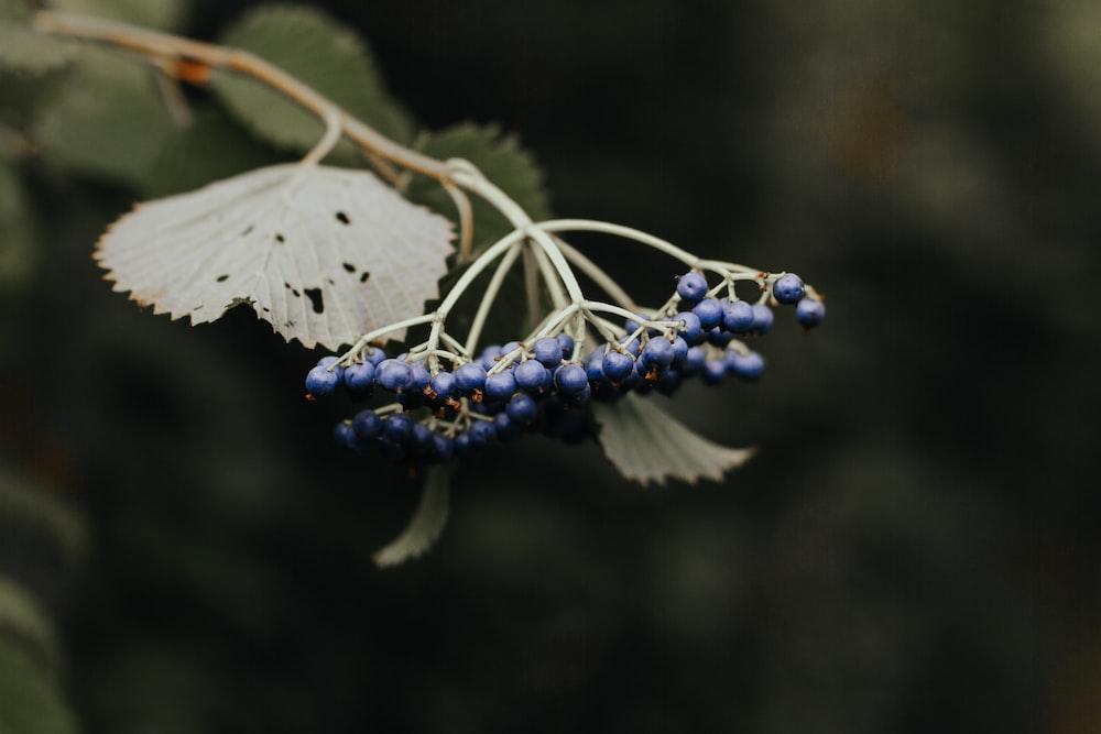 closeup photo of blue fruits