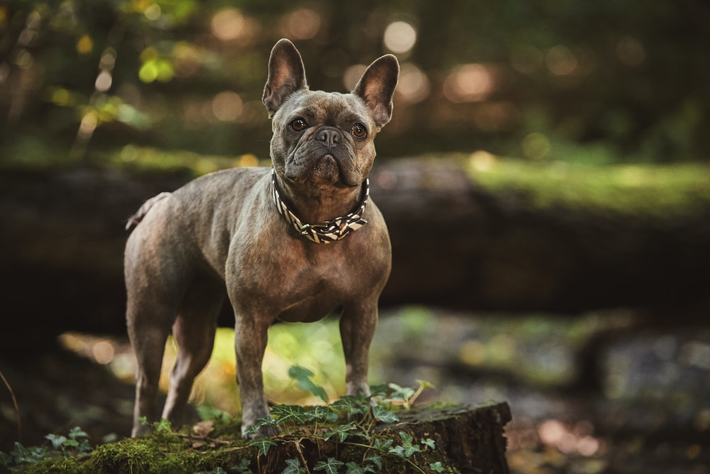 adult brown French bulldog in close up photography