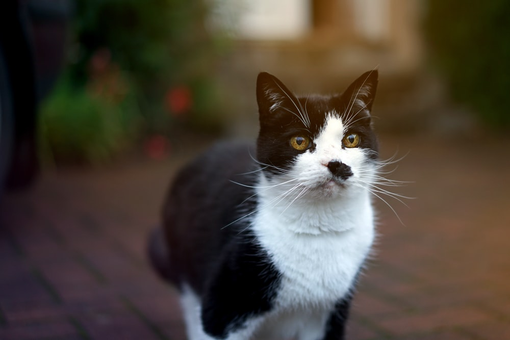 tilt-shift photography of white and black cat outdoors