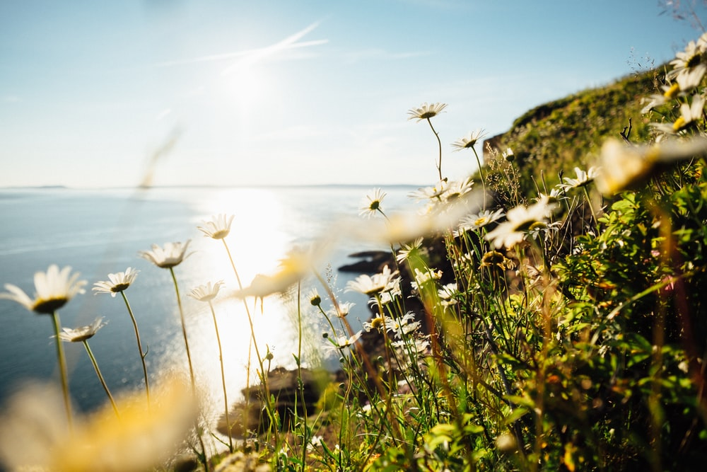 nature photography of white petaled flowers on mountain near body of water