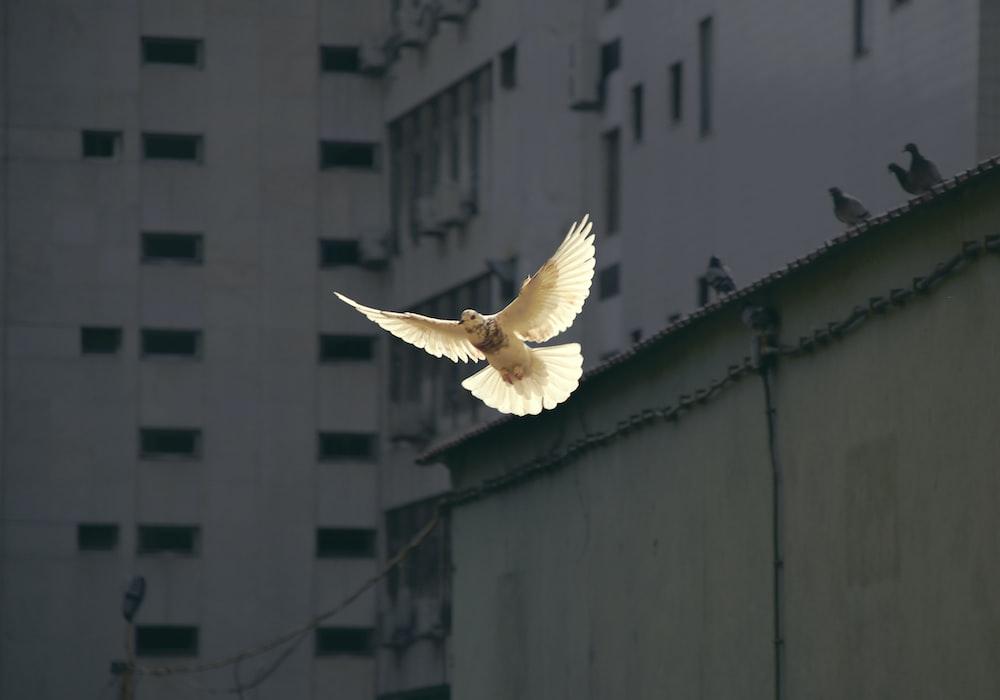 in flight dove