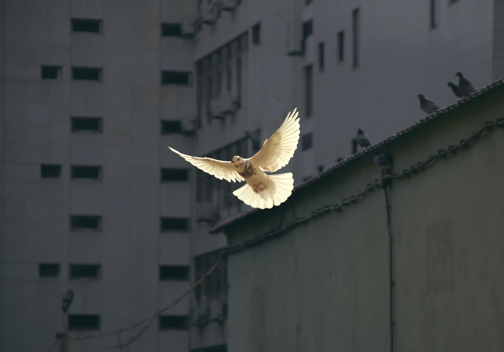 in flight dove