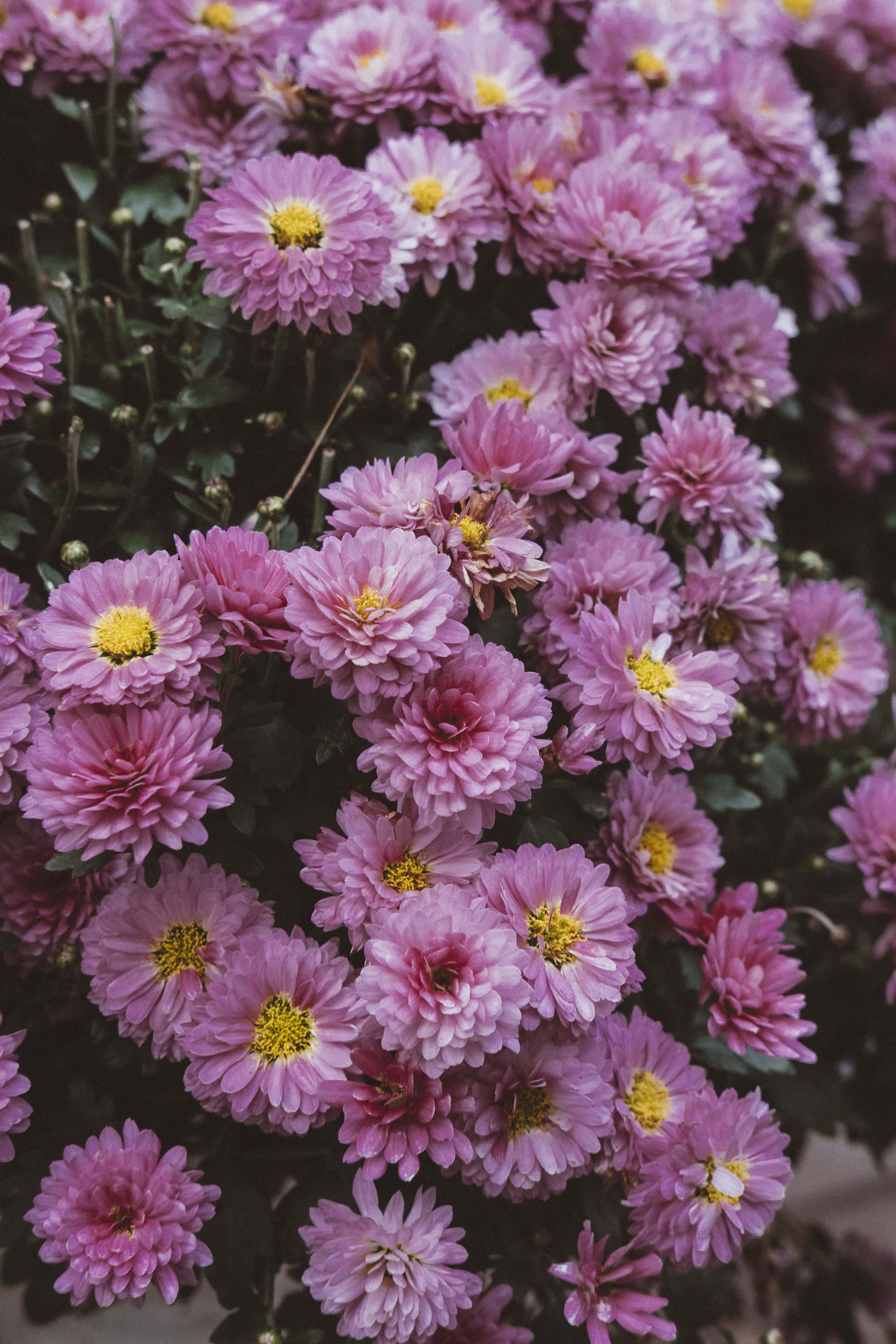 pink cluster flowers