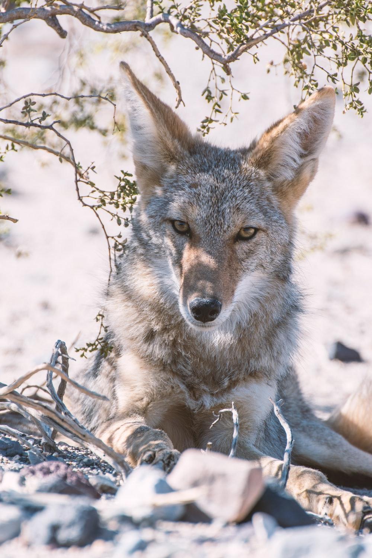gray fox photography