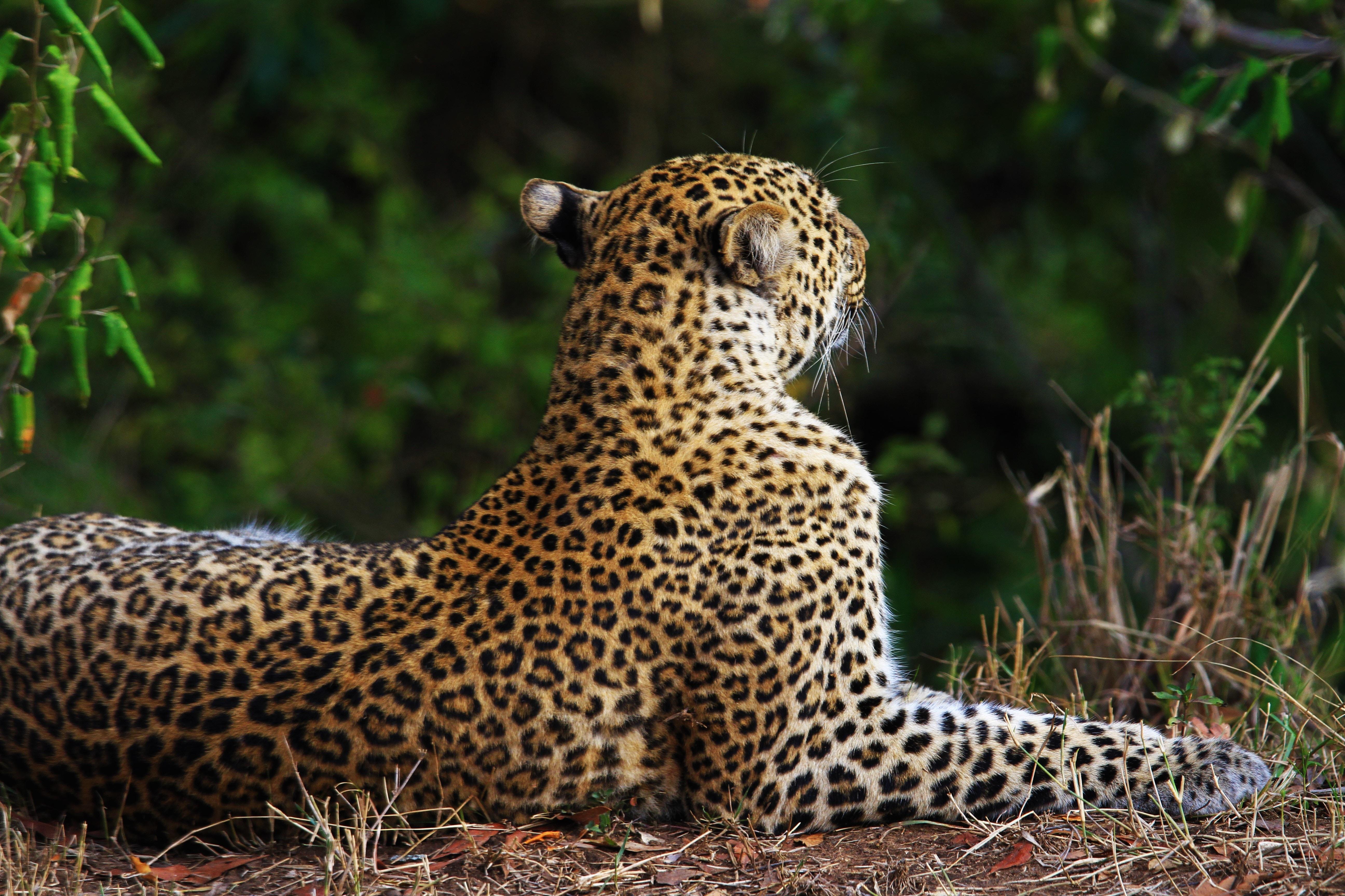 photo of leopard sitting near grass
