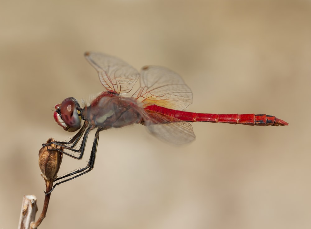 closeup photo of red and gray dragonfly