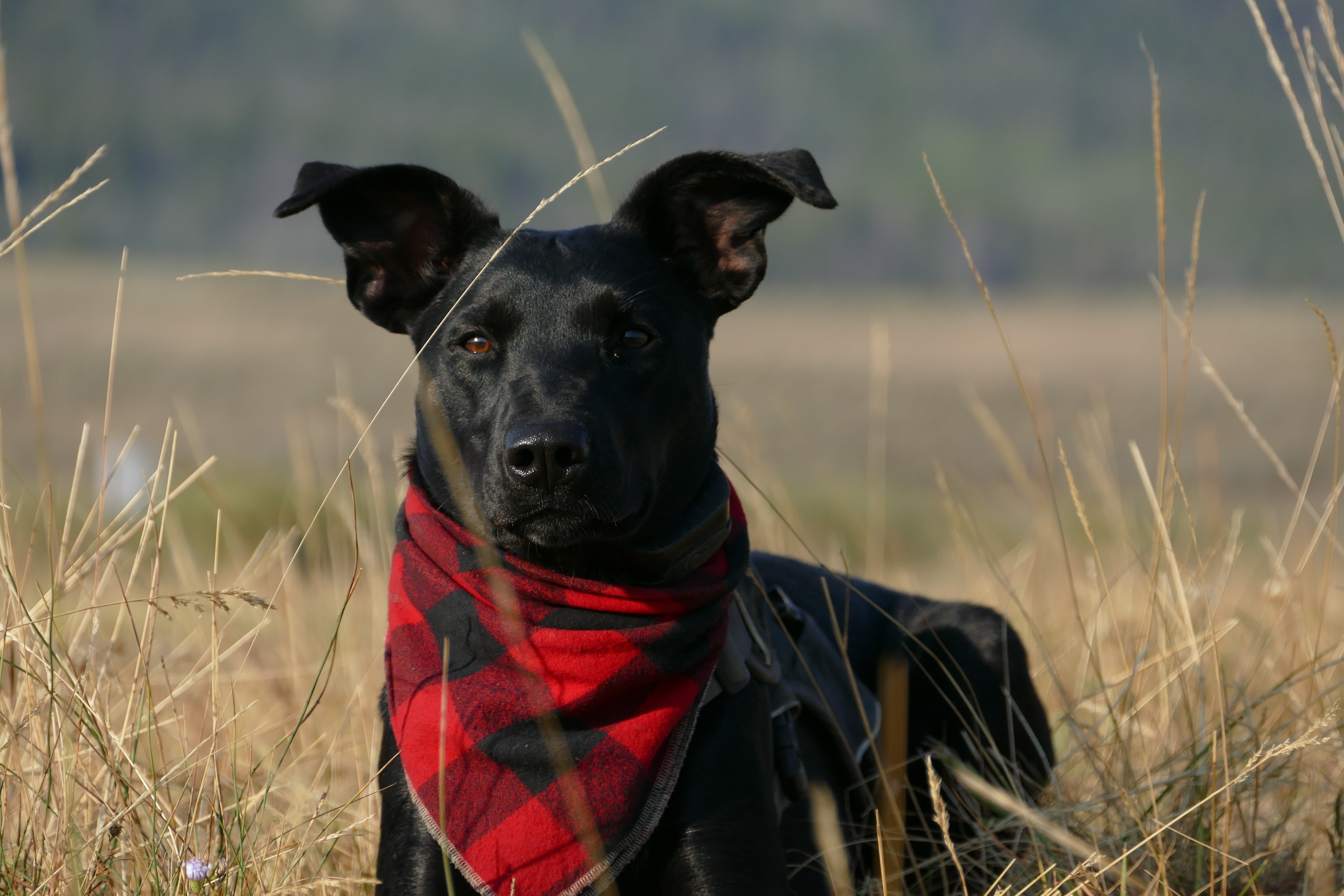 black dog with scarf standing on grass field
