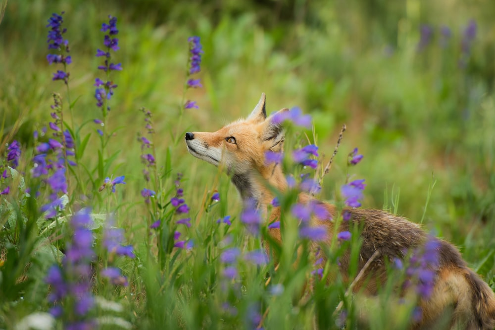 red fox surrounded with purple flowers