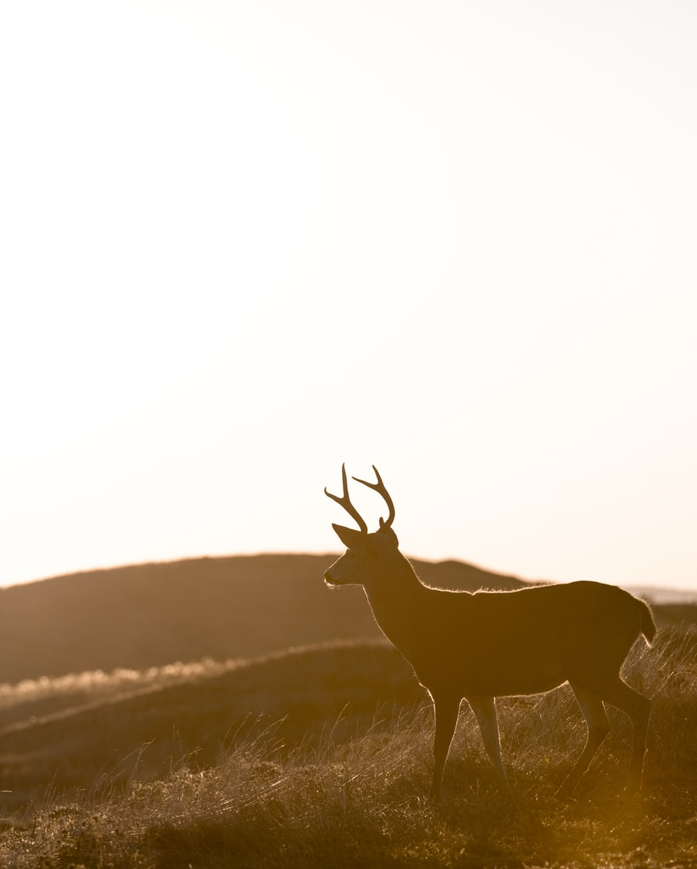 silhouette of deer standing on grass field