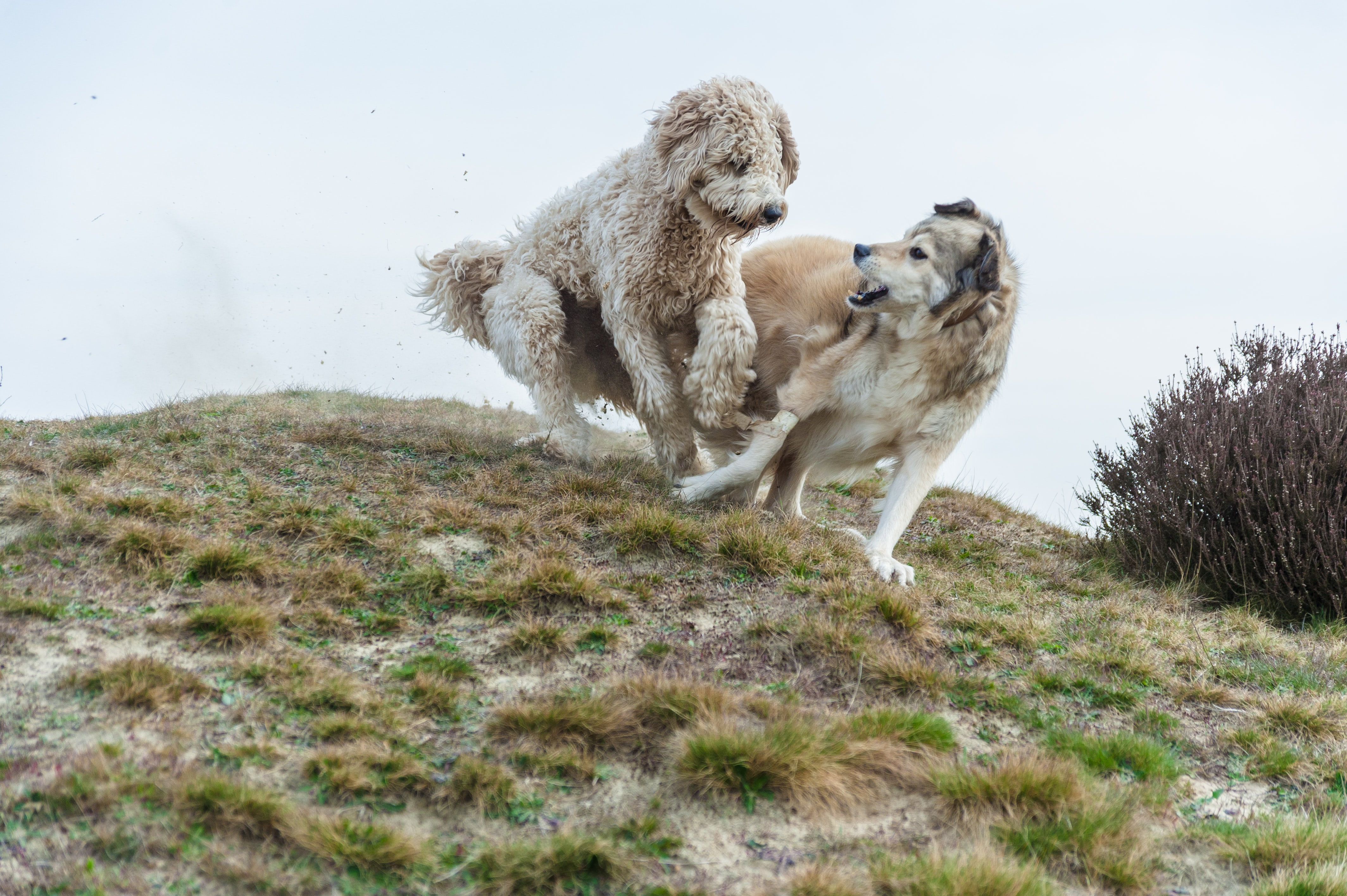 two dogs playing uphill