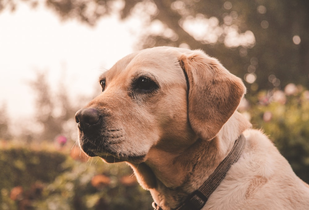 selective focus photo of adult yellow Labrador retriever
